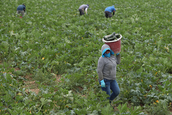 Farm「Essential Farm Workers Continue Work As Florida Agriculture Industry Struggles During Coronavirus Pandemic」:写真・画像(5)[壁紙.com]