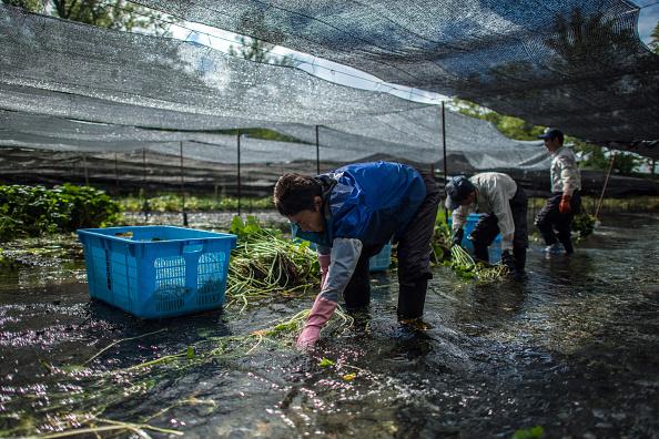 ビジネスと経済「Wasabi Farming In Japan」:写真・画像(10)[壁紙.com]