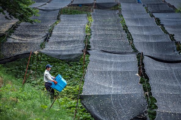 ビジネスと経済「Wasabi Farming In Japan」:写真・画像(8)[壁紙.com]