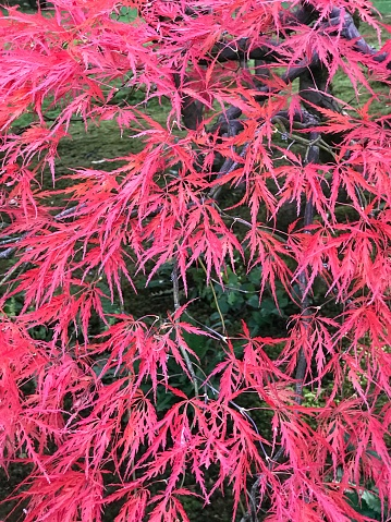 Japanese Maple「Japanese Maple tree in red fall color, Seattle」:スマホ壁紙(18)