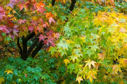Japanese Maple「Japanese maple trees (Acer palmatum) in autumn」:スマホ壁紙(12)