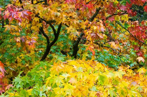 Japanese Maple「Japanese maple trees (Acer palmatum), in autumn」:スマホ壁紙(11)
