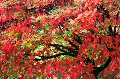 Japanese Maple「Japanese maple trees (Acer palmatum), in autumn」:スマホ壁紙(13)