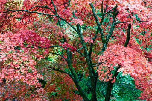Japanese Maple「Japanese maple trees (Acer palmatum) in autumn」:スマホ壁紙(10)