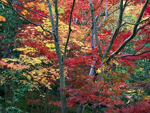 Japanese Maple「Japanese Maple trees in fall color, Seattle」:スマホ壁紙(19)