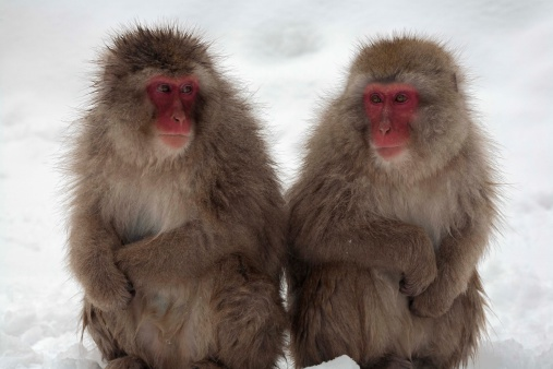 Japanese Macaque「Japanese Macaque monkeys sitting side by side outdoors in snow」:スマホ壁紙(10)