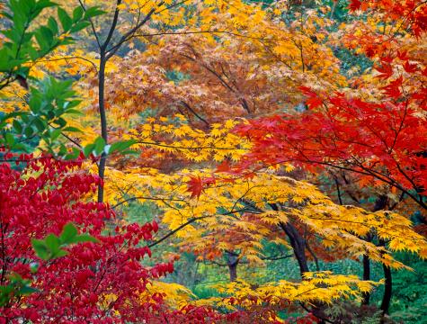 Japanese Maple「Japanese maple trees (Acer palmatum), autumn」:スマホ壁紙(3)