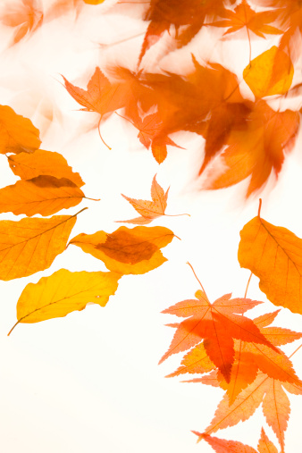 Japanese Maple「Japanese maple and beech leaves falling, close-up, autumn」:スマホ壁紙(3)