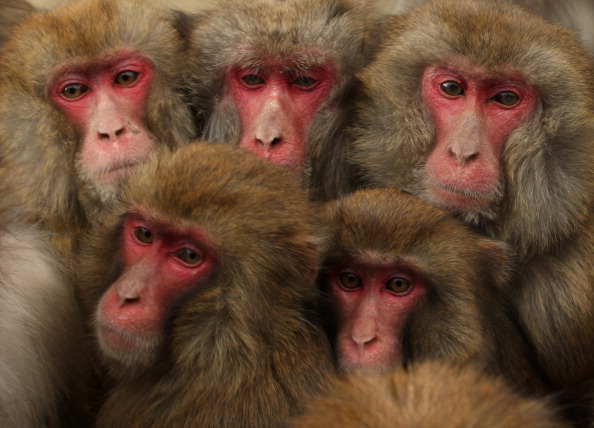 Vertebrate「Japanese Macaques Form Huddle To Keep Warm」:写真・画像(3)[壁紙.com]
