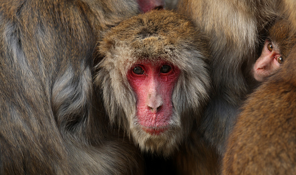 Buddhika Weerasinghe「Japanese Macaques Form Huddle To Keep Warm」:写真・画像(2)[壁紙.com]