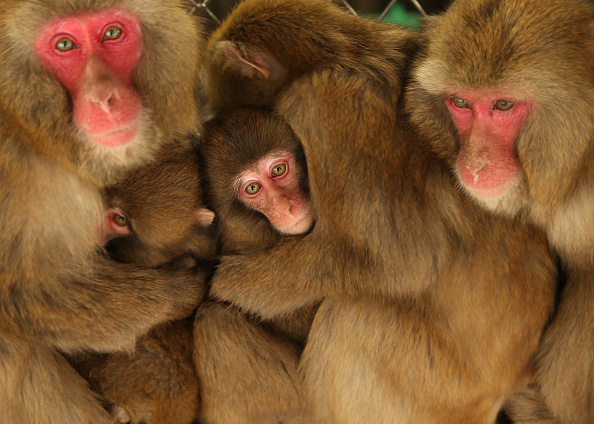 Buddhika Weerasinghe「Japanese Macaques Form Huddle To Keep Warm」:写真・画像(1)[壁紙.com]