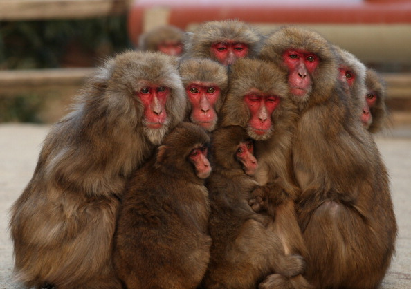 Buddhika Weerasinghe「Japanese Macaques Form Huddle To Keep Warm」:写真・画像(0)[壁紙.com]