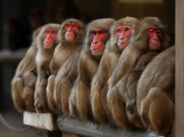 Buddhika Weerasinghe「Japanese Macaques Form Huddle To Keep Warm」:写真・画像(16)[壁紙.com]
