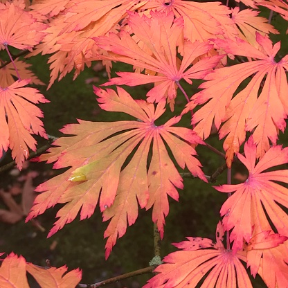"Japanese Maple「Japanese Maple leaves, (Acer japonicum ""Aconitifolium"") Autumn」:スマホ壁紙(16)"