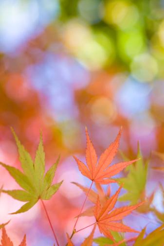 Japanese Maple「Japanese maple leaves in autumn」:スマホ壁紙(15)