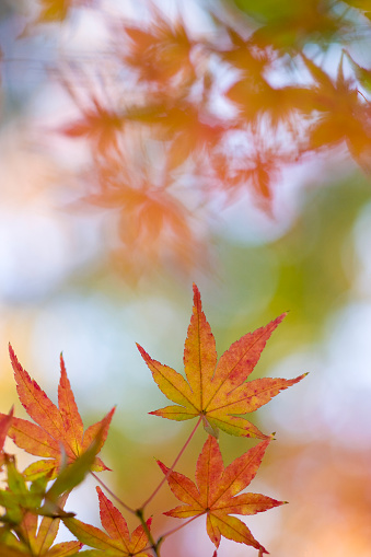 Japanese Maple「Japanese maple leaves in autumn」:スマホ壁紙(19)