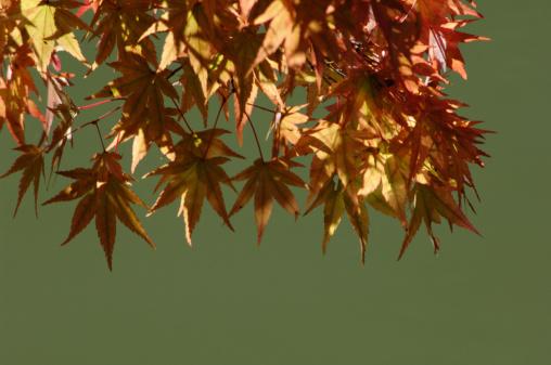 Japanese Maple「Japanese maple leaves in autumn」:スマホ壁紙(2)