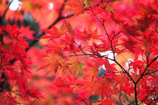 紅葉「イロハモミジ秋の葉」:スマホ壁紙(6)