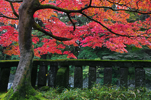 Japanese Maple「Japanese maple leaves in autumn」:スマホ壁紙(1)
