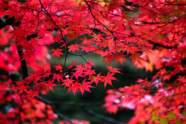 Japanese maple leaves in autumn:スマホ壁紙(壁紙.com)