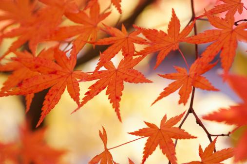Japanese Maple「Japanese Maple Leaves In Autumn」:スマホ壁紙(17)