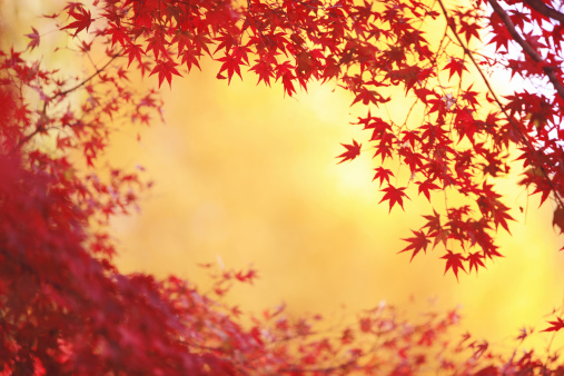 Japanese Maple「Japanese maple in autumn, Kyoto Prefecture, Honshu, Japan」:スマホ壁紙(16)