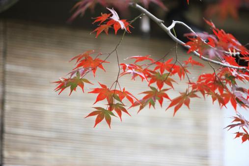 Japanese Maple「Japanese maple in autumn, Kyoto Prefecture, Honshu, Japan」:スマホ壁紙(10)