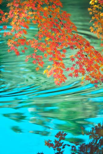 秋+京都「Japanese maple in autumn, Kyoto Prefecture, Honshu, Japan」