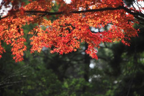 Japanese Maple「Japanese maple in autumn, Kyoto Prefecture, Honshu, Japan」:スマホ壁紙(8)
