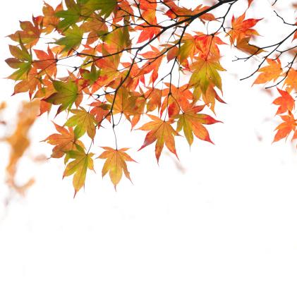 Japanese Maple「Japanese maple leaves in spring」:スマホ壁紙(14)
