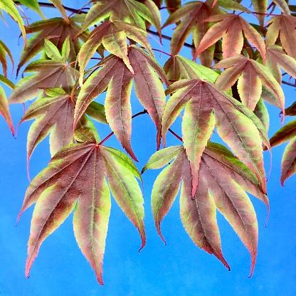 Japanese Maple「Japanese Maple leaves in spring, Seattle」:スマホ壁紙(17)