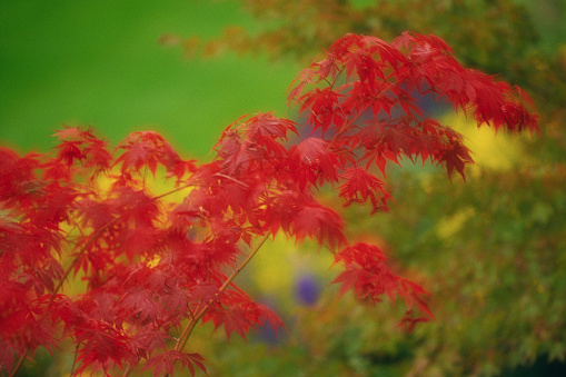 Japanese Maple「Japanese Maple」:スマホ壁紙(17)