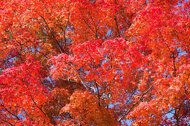 Japanese Maple, Close-up:スマホ壁紙(壁紙.com)