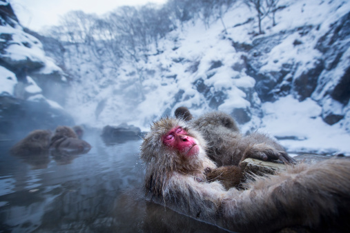 Grooming - Animal Behavior「Japanese Macaque or Snow Monkey female and baby」:スマホ壁紙(7)