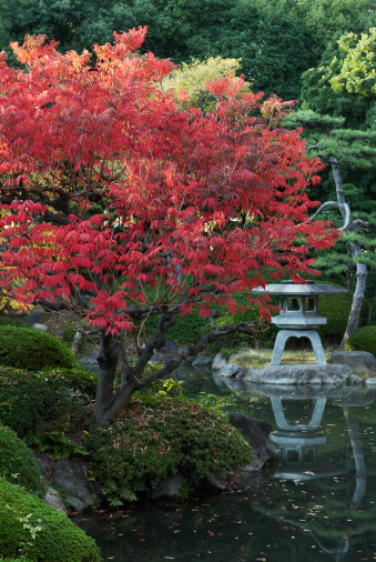 Japanese Maple「Japanese Maple Tree and Garden Pond」:スマホ壁紙(1)