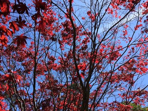 Japanese Maple「Japanese maple and sky.」:スマホ壁紙(0)