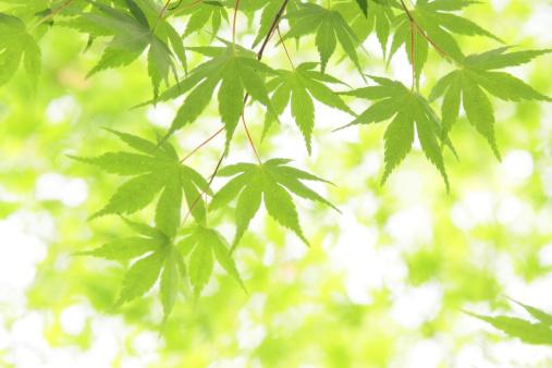 Japanese Maple「Japanese maple leaves on branch, Tokyo Prefecture, Honshu, Japan」:スマホ壁紙(8)