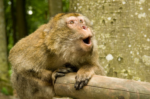 Japanese Macaque「Japanese Macaque Monkey Looking Surprised」:スマホ壁紙(8)