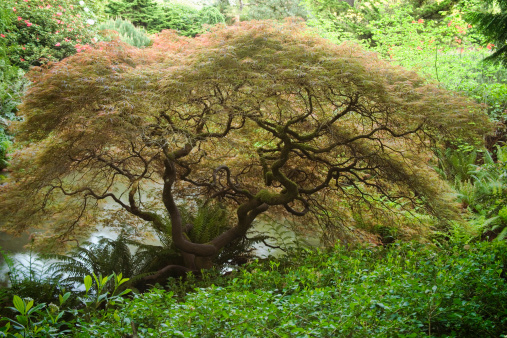 Japanese Maple「Japanese maple tree or Acer palmatum 'Dissectum'」:スマホ壁紙(9)