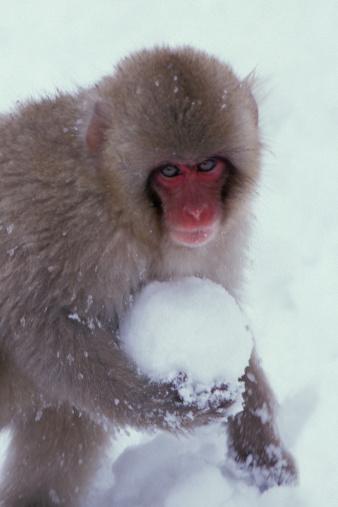 Snowball「Japanese macaque (Macaca fuscata) holding snowball, close-up」:スマホ壁紙(19)