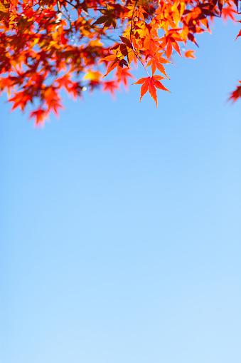 紅葉「Japanese maple/acer leaves in Autumn」:スマホ壁紙(2)