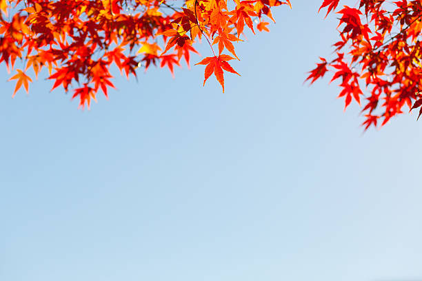 Japanese maple/acer leaves in Autumn:スマホ壁紙(壁紙.com)