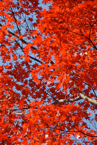 Japanese Maple「Japanese maple (Acer sp.) against sky, low angle view, autumn」:スマホ壁紙(3)