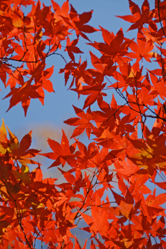 Japanese Maple「Japanese maple (Acer sp.) against sky, low angle view, autumn」:スマホ壁紙(6)