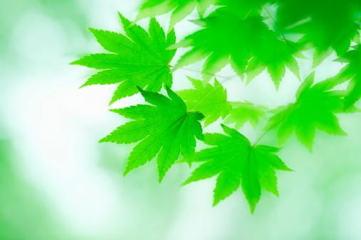 Japanese Maple「Japanese maple in spring」:スマホ壁紙(16)