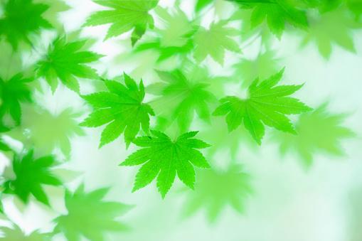 Japanese Maple「Japanese maple in spring」:スマホ壁紙(18)