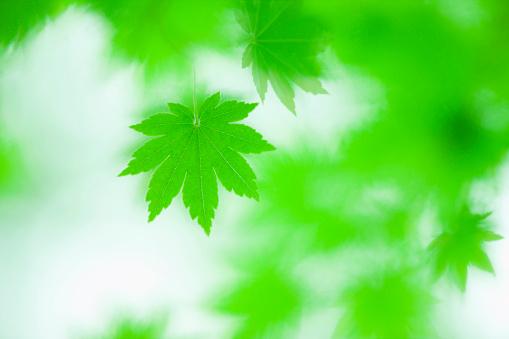 Japanese Maple「Japanese maple in spring」:スマホ壁紙(19)
