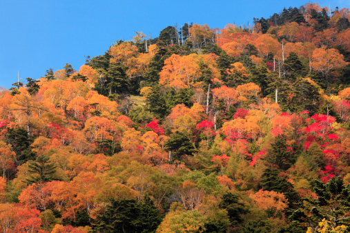 Nikko City「Japanese maple tree, Tochigi Prefecture, Japan」:スマホ壁紙(9)