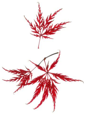 Japanese Maple「Japanese maple」:スマホ壁紙(0)