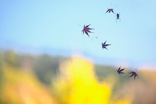 Japanese Maple「Japanese maple leaves on spider web」:スマホ壁紙(9)